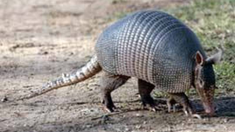 Armadillos spotted in Southeast Iowa.