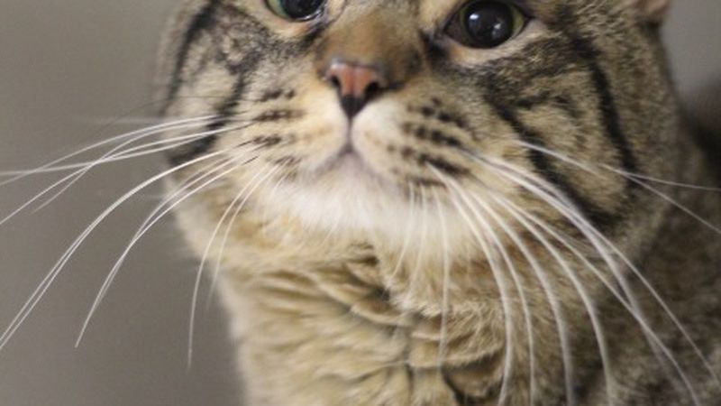 Dj the Tabby cat is looking for a forever home.