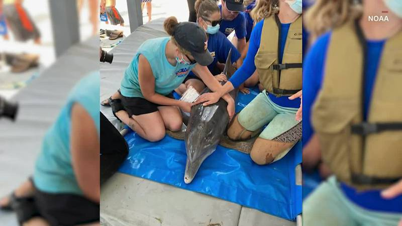 """After Ida trapped a dolphin in an inland canal, multiple agencies team up for """"Operation Free..."""