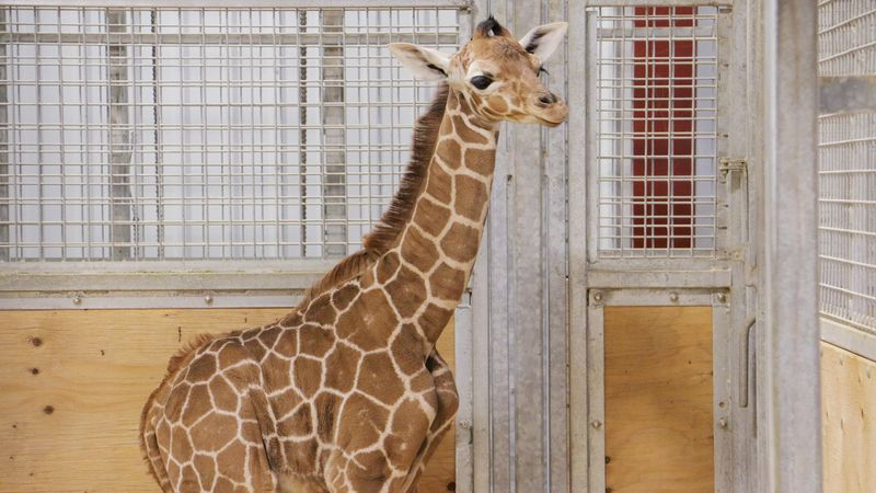 The Blank Park Zoo on Monday announced the birth of a giraffe calf.